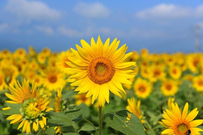 راز گردش گلهای آفتابگردان